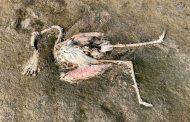 सांभर लेक में क्यों मर रहे हैं पक्षी....